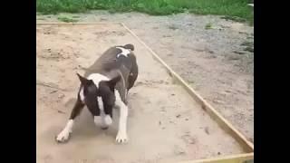 World's funniest Bullterrier