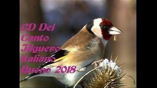 CD Del Canto Jilguero Italiano Bueno 2018
